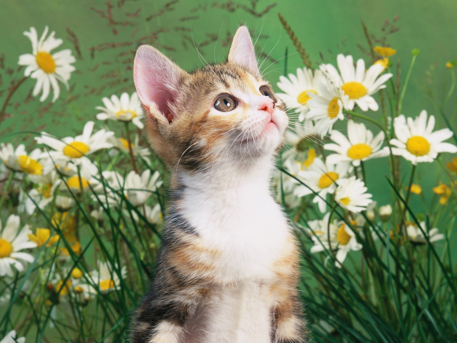 Baby cat free desktop wallpapers for widescreen hd and mobile voltagebd Choice Image