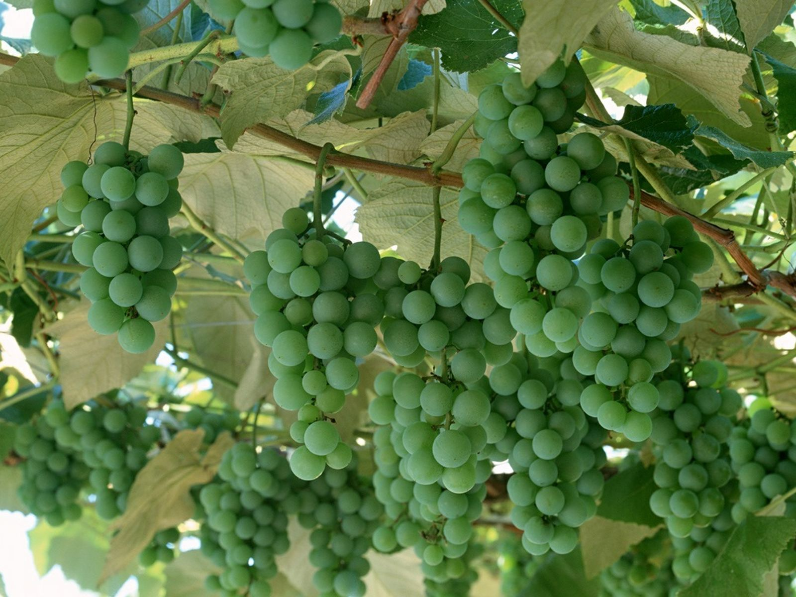 Green Grapes | Free Desktop Wallpapers for Widescreen, HD ...