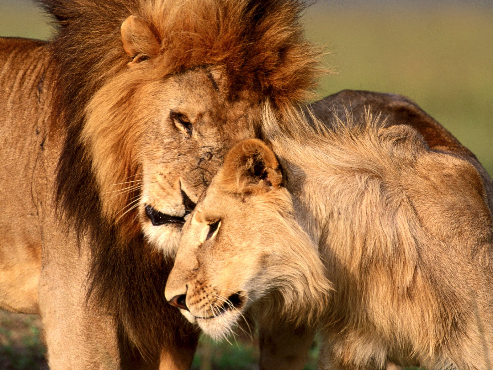 http://www.thewallpapers.org/photo/21589/Lions-Love.jpg