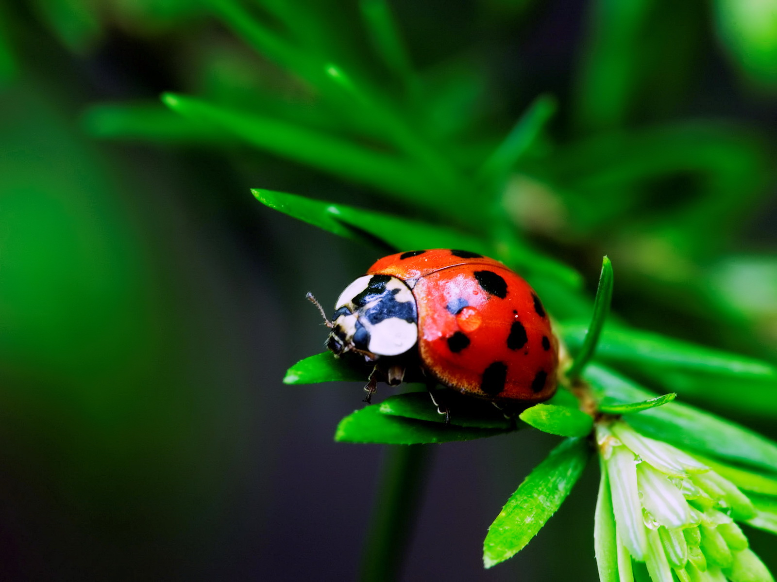 Http Www Thewallpapers Org 1709 Animals Ladybug
