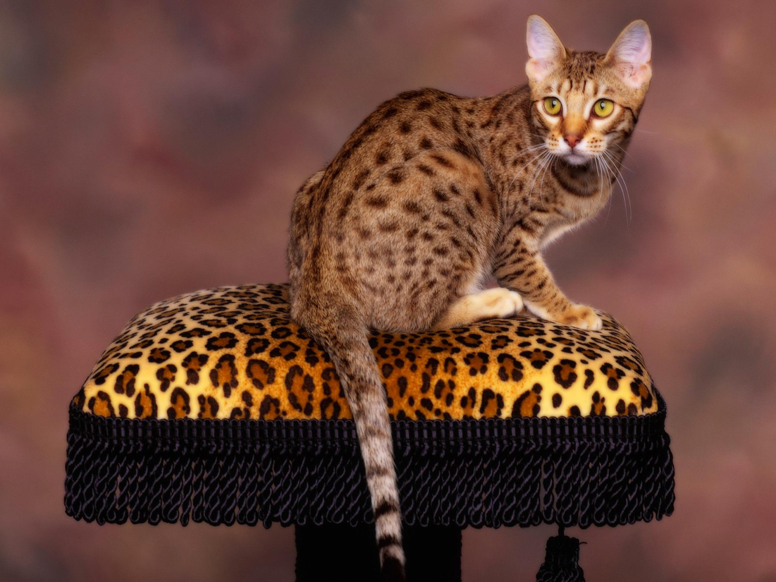 Оцикет - порода кошек, фото, видео, форум, отзывы, цена.