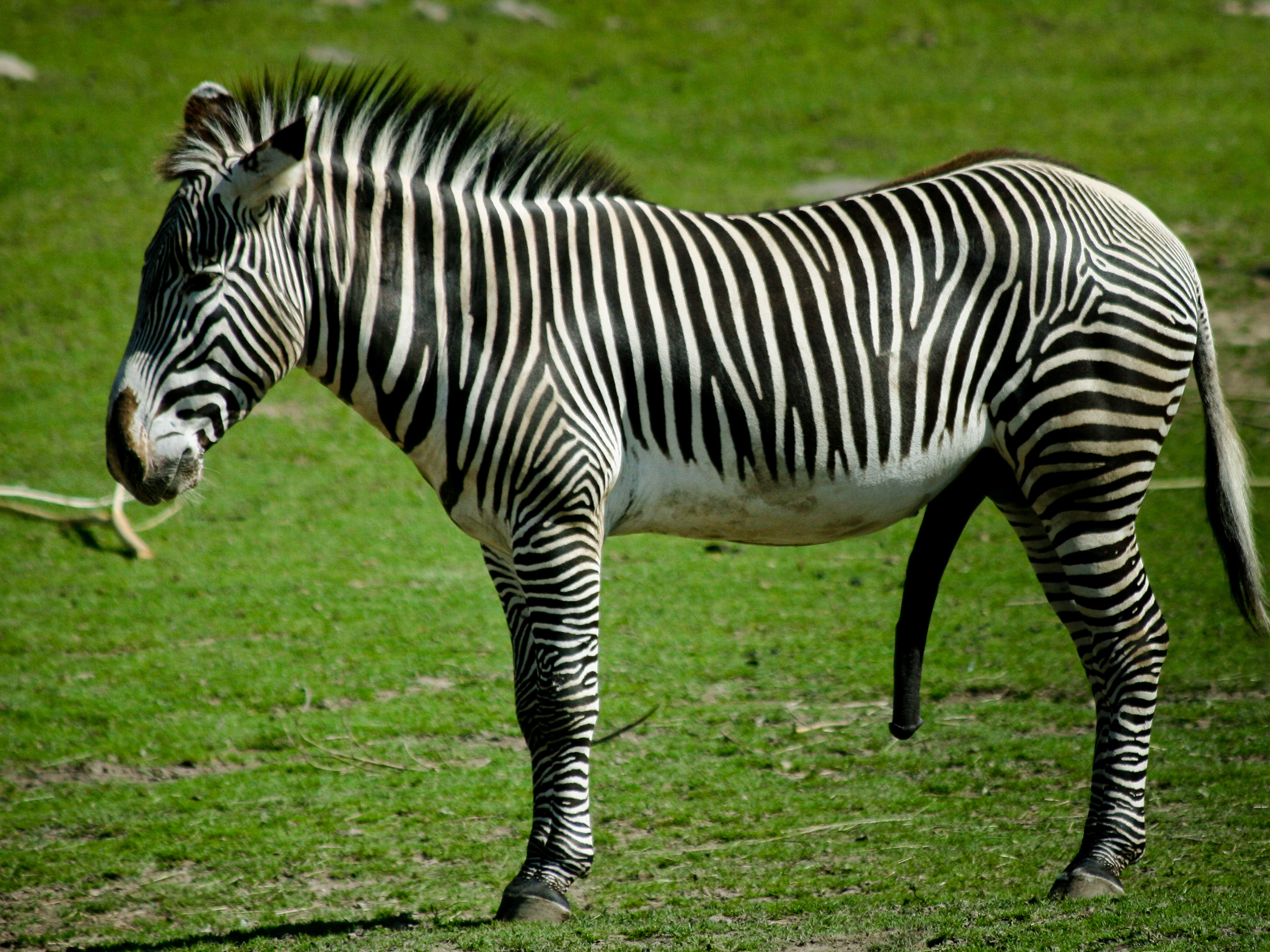 Zebra Picture And Images