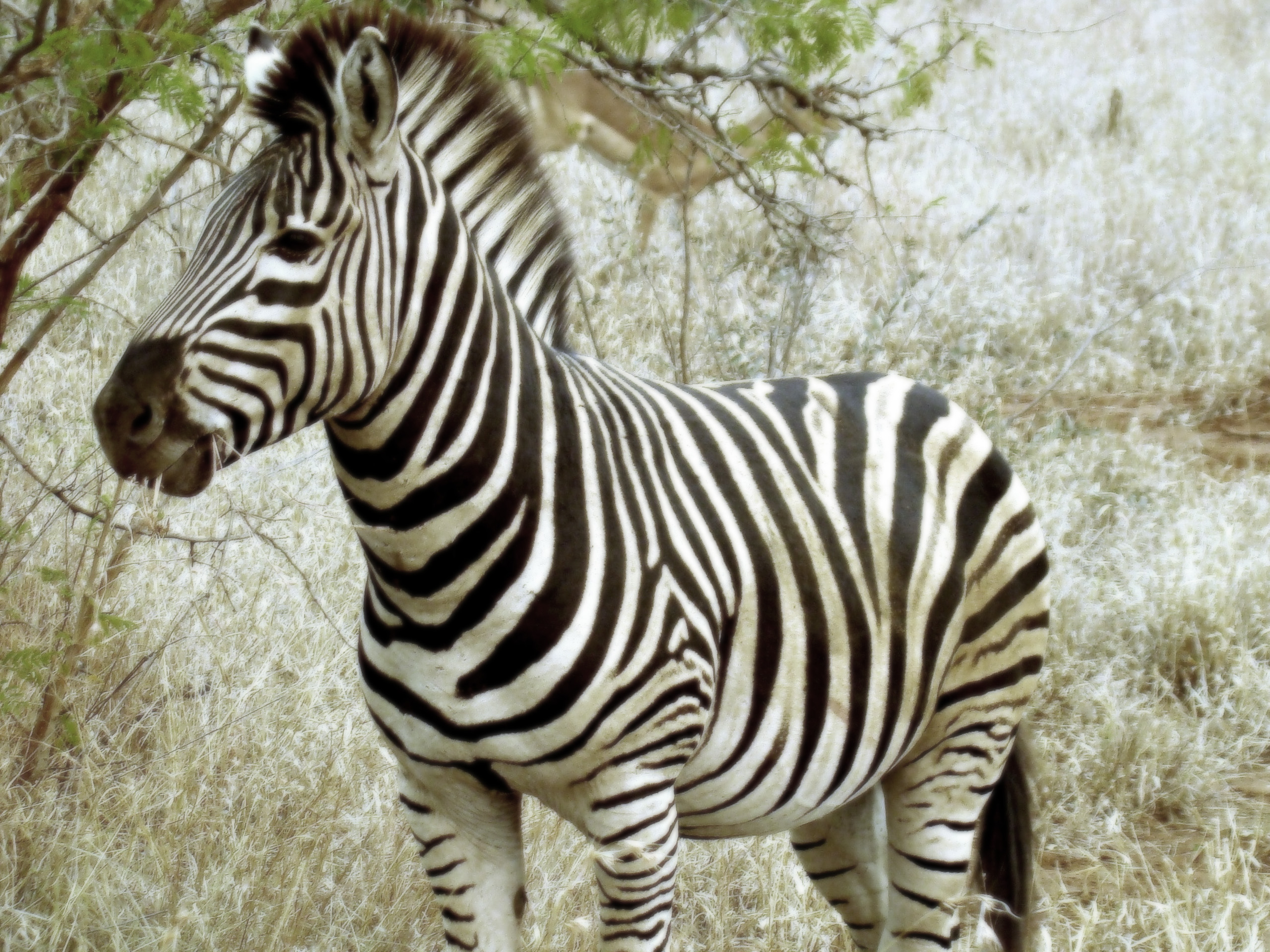 Rainbow Zebra Wallpaper - WallpaperSafari