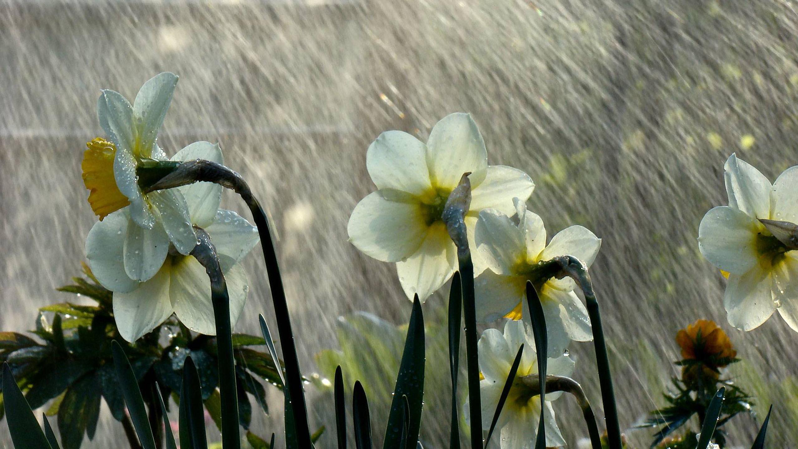 дождь, капля, цветок, ирис, лето загрузить