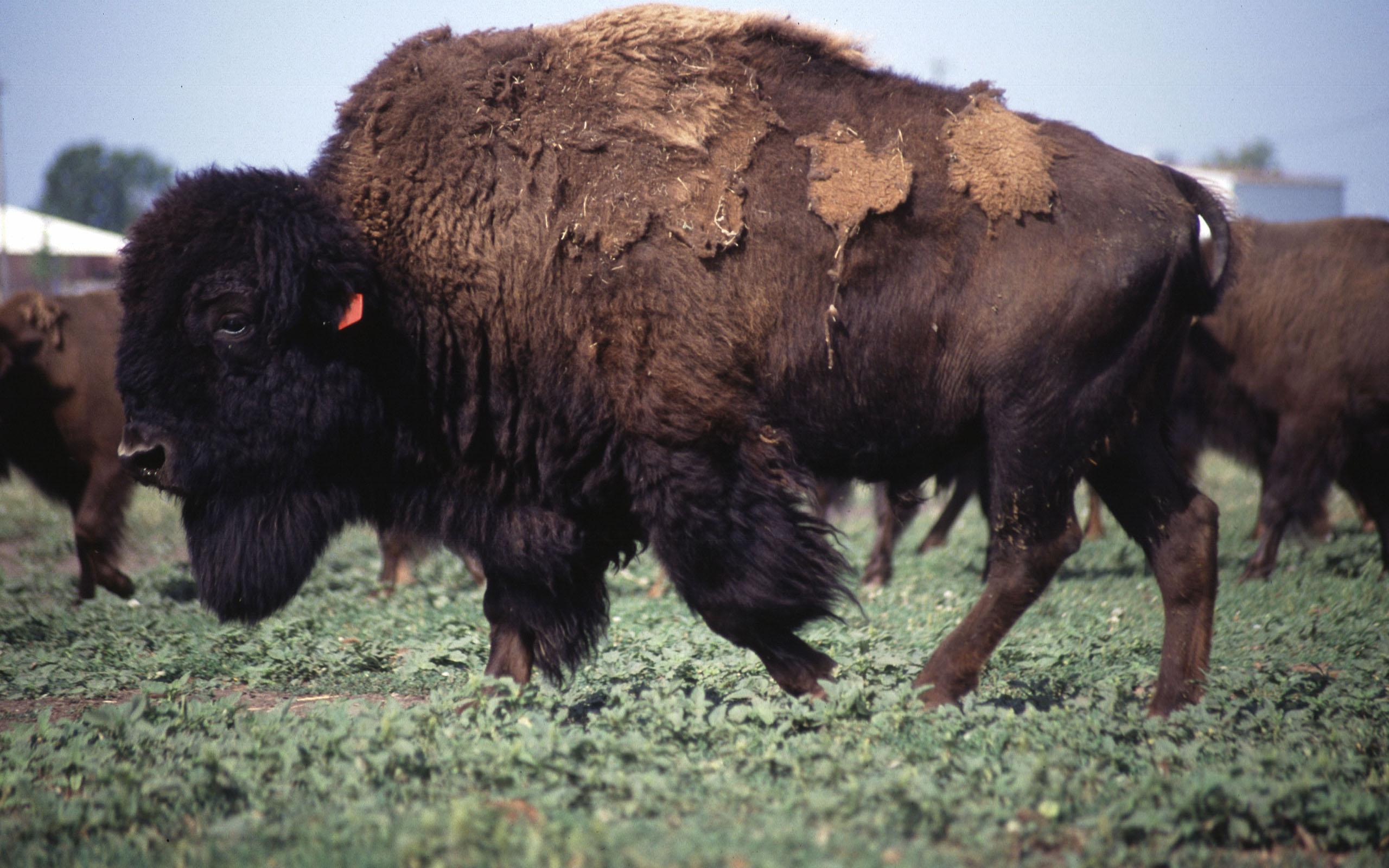 Beautiful Bison Wallpaper - American_bison  Perfect Image Reference_777091.jpg
