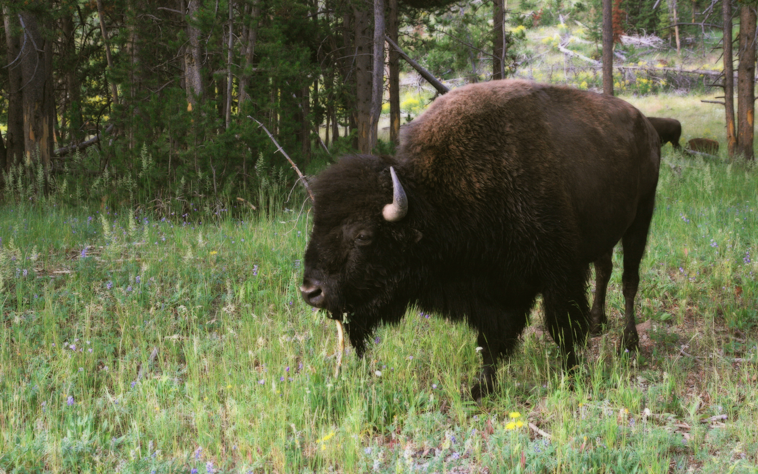 American Bison Bison Bison In Yellowstone NP | Free ...