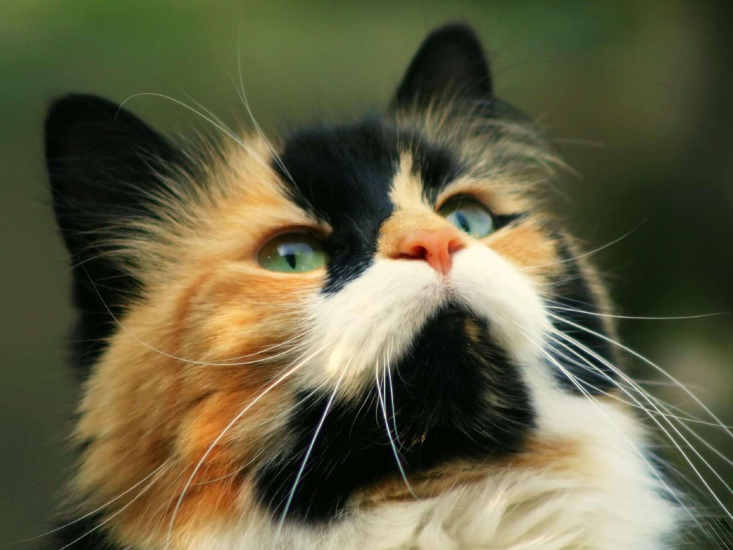 Самые красивые породы кошек (101 фото) .