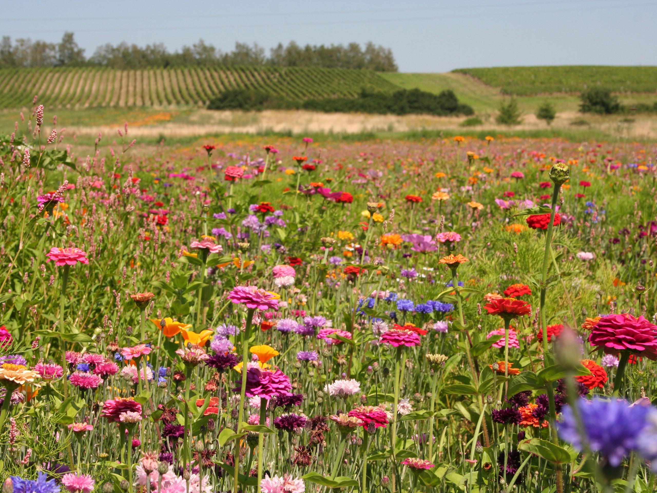 Flower Meadow Wallpaper Flowers on Meadow Fields