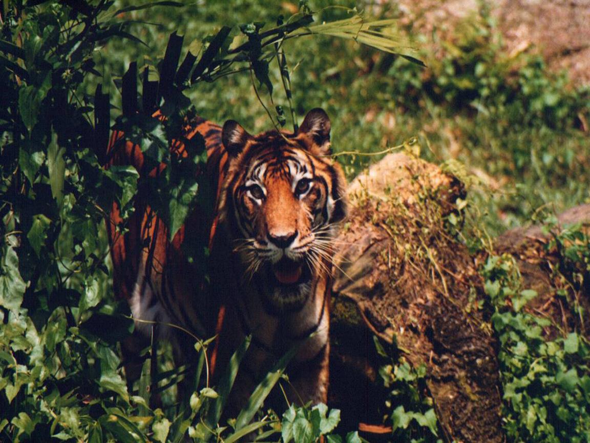 tiger wallpaper widescreen - photo #30